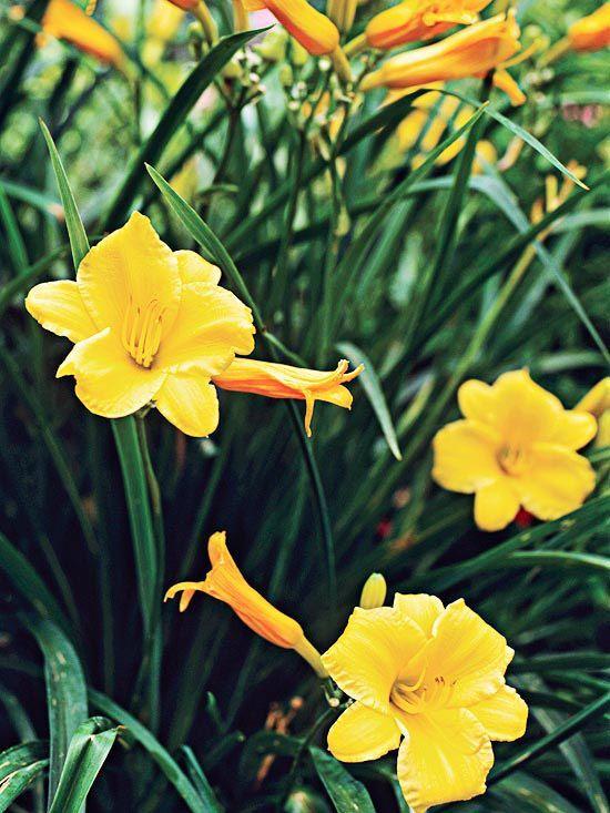 Нежное и красивое украшение участка - желтый лилейник