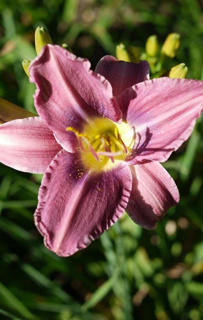 Цветок очень нежного окраса гармонично впишется в ландшафт загородного дома