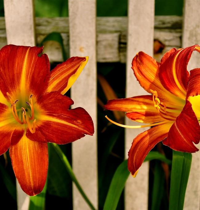 Красивый и ароматный жилец вашего сада подарит массу приятных эмоций