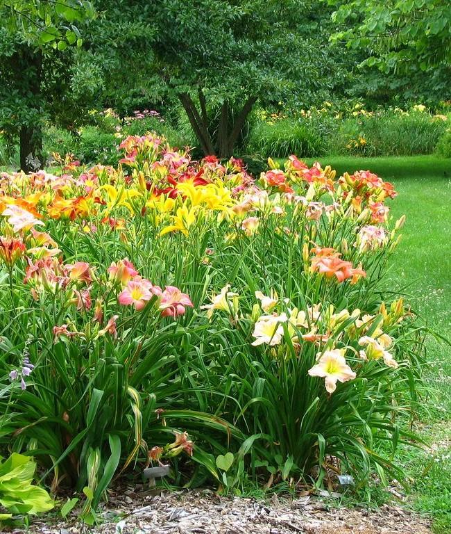Лилейник на сочном зеленом фоне - пестрое украшение сада