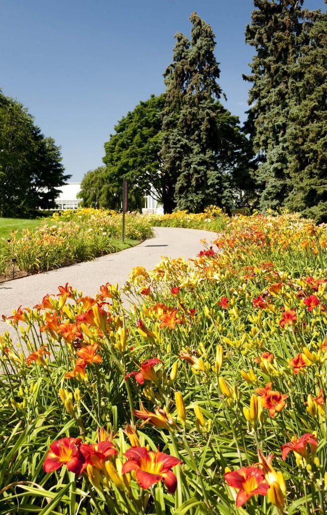Лилейники отблагодарят за подкормку ярким и буйным цветом