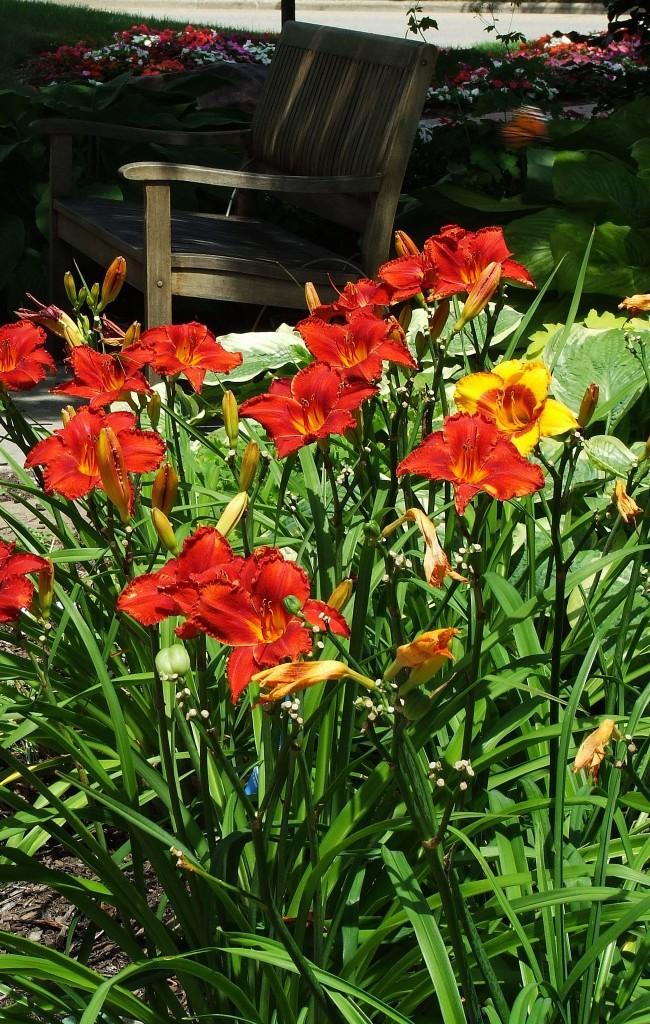 Хорошее освещение - залог долгого и обильного цветения лилейника