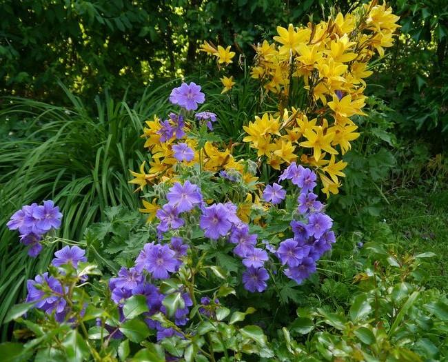 Желтые сорта лелейника смотрятся очень ярко и контрастно на фоне других цветов