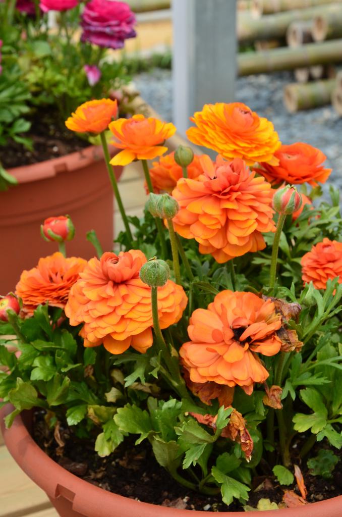 Несомненно, цветок ранункулюса - это прекрасный выбор в оформлении балконов и террас