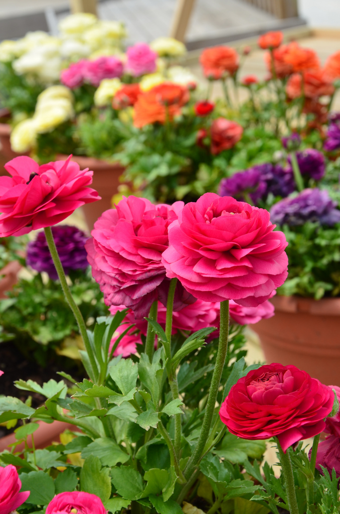 Можно создать свой райский уголок на крыше или террасе дома - окружив себя вазонами с разноцветными лютиками