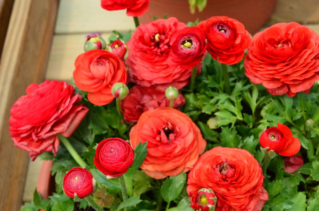 Эффектный красный цветок ранункулюса