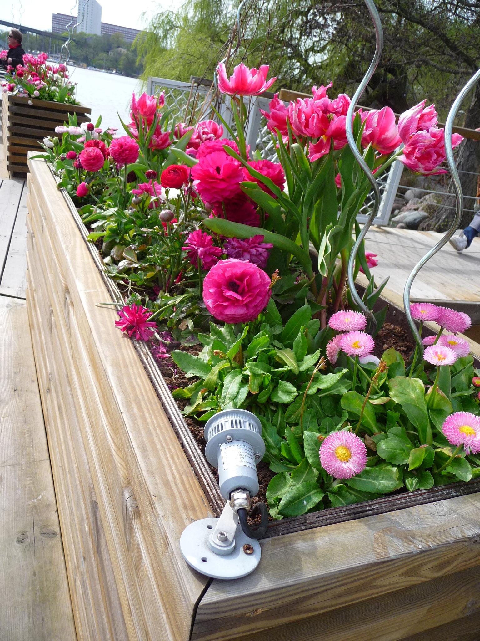 Ранункулюсы отлично дополнят цветочную композицию в деревянных клумбах и смогут украсить любой ландшафт