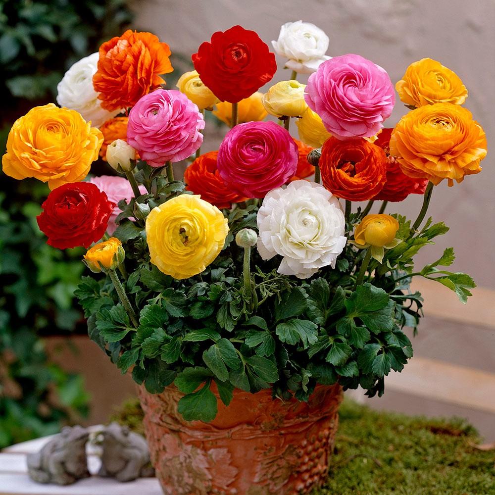 В горшках выращивают этот цветок для украшения террас и балконов, но в холодное время года ему место только в комнате, так как морозов ранункулюс не выдерживает