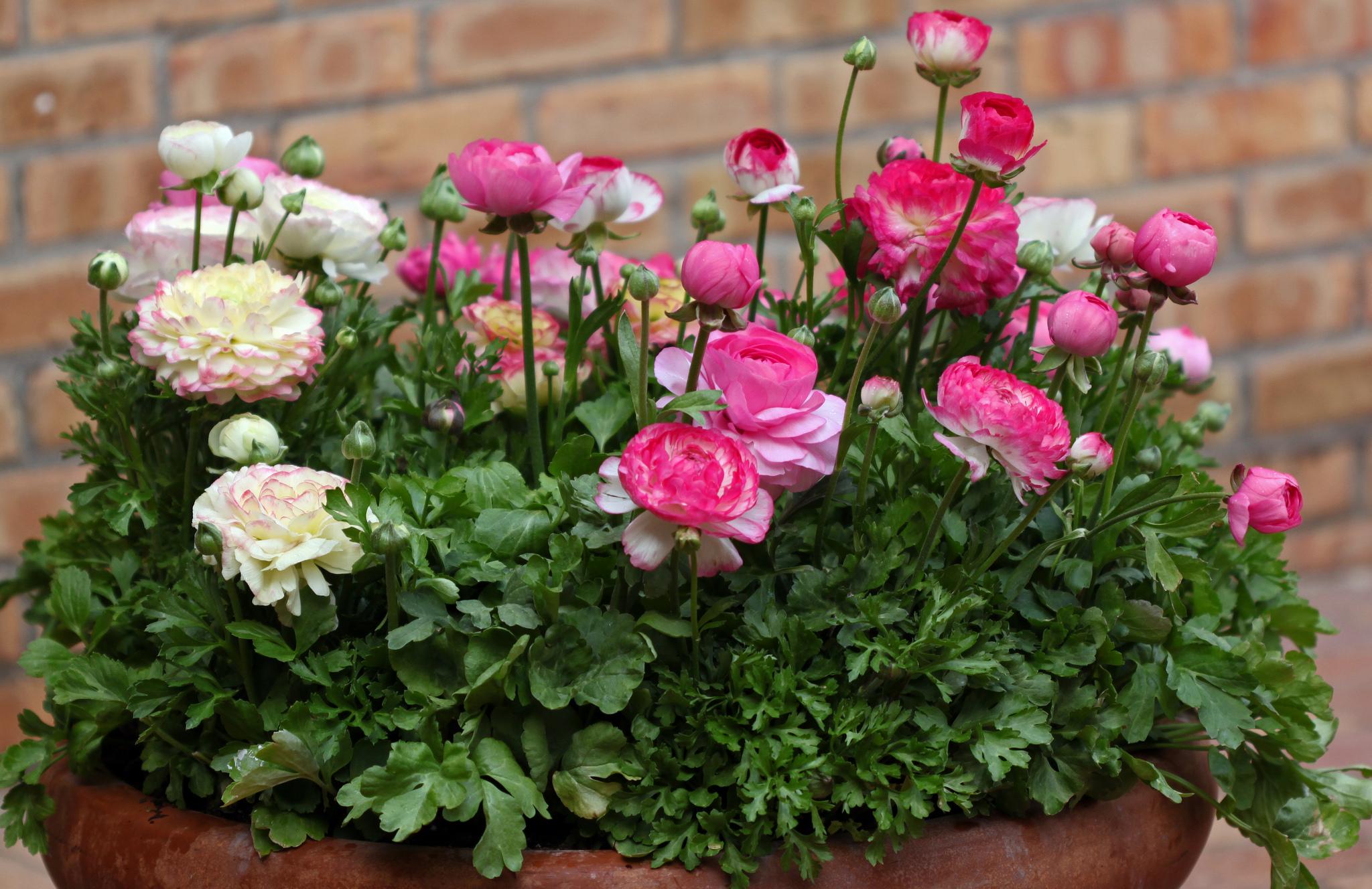 Нежные розовые ранункулюсы, вырощеные в вазоне