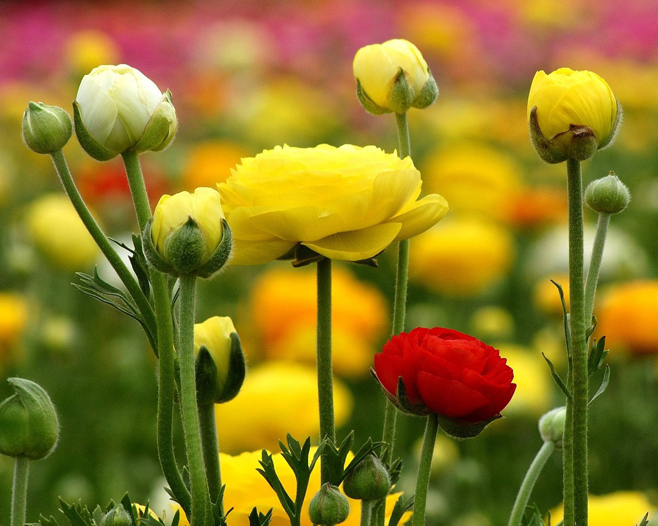 Лютик азиатский - утонченное растение невероятной красоты
