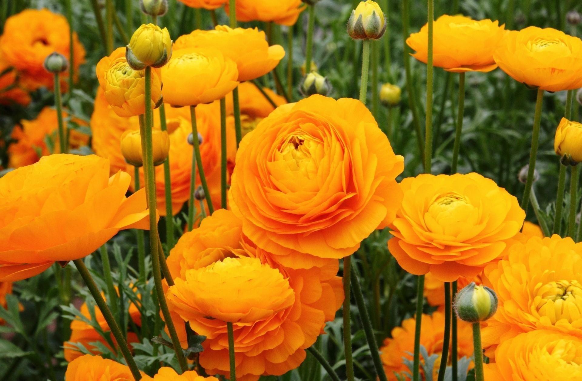Желтые ранункулюсы добавят летнего солнечного настроения