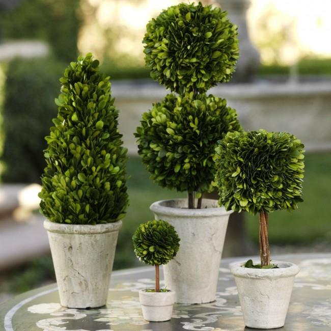 При желании овладеть искусством топиария можно потренироваться на самшитовых деревьях