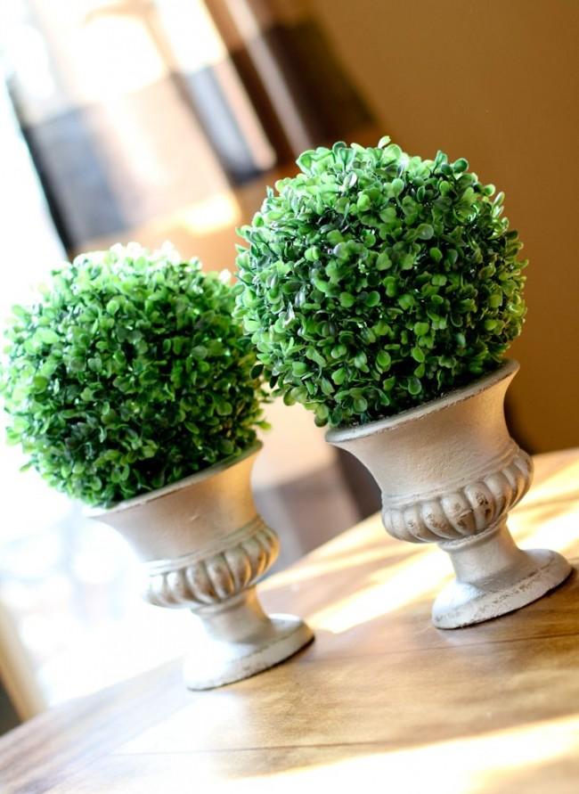 Выращивание самшита в домашних условиях
