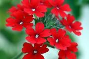 Фото 9 Вербена (51 фото): неприхотливая красота для вашего сада