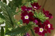 Фото 29 Вербена (51 фото): неприхотливая красота для вашего сада