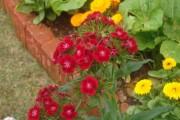 Фото 28 Вербена (51 фото): неприхотливая красота для вашего сада