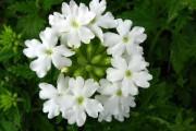 Фото 15 Вербена (51 фото): неприхотливая красота для вашего сада