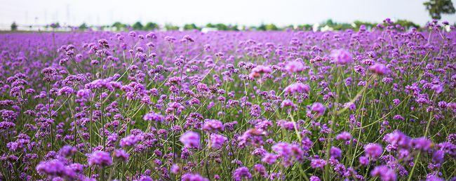 Волшебная поляна аметистового цвета