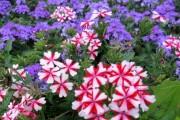 Фото 27 Вербена (51 фото): неприхотливая красота для вашего сада