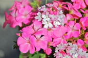 Фото 3 Вербена (51 фото): неприхотливая красота для вашего сада