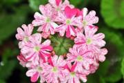 Фото 30 Вербена (51 фото): неприхотливая красота для вашего сада