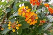Фото 26 Вербена (51 фото): неприхотливая красота для вашего сада