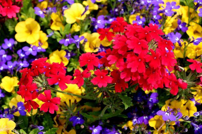 Вербена не перестает удивлять разнообразием своих цветов и их оттенков
