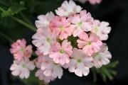 Фото 25 Вербена (51 фото): неприхотливая красота для вашего сада