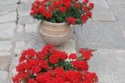 Фото 22 Вербена (51 фото): неприхотливая красота для вашего сада