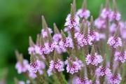 Фото 5 Вербена (51 фото): неприхотливая красота для вашего сада