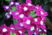 Фото 7 Вербена (51 фото): неприхотливая красота для вашего сада