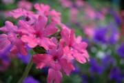 Фото 16 Вербена (51 фото): неприхотливая красота для вашего сада
