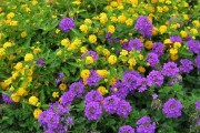 Фото 17 Вербена (51 фото): неприхотливая красота для вашего сада