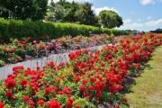 Фото 18 Вербена (51 фото): неприхотливая красота для вашего сада