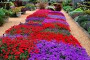 Фото 14 Вербена (51 фото): неприхотливая красота для вашего сада