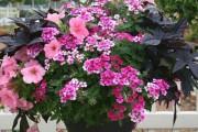 Фото 13 Вербена (51 фото): неприхотливая красота для вашего сада