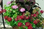 Фото 12 Вербена (51 фото): неприхотливая красота для вашего сада