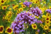 Фото 8 Вербена (51 фото): неприхотливая красота для вашего сада