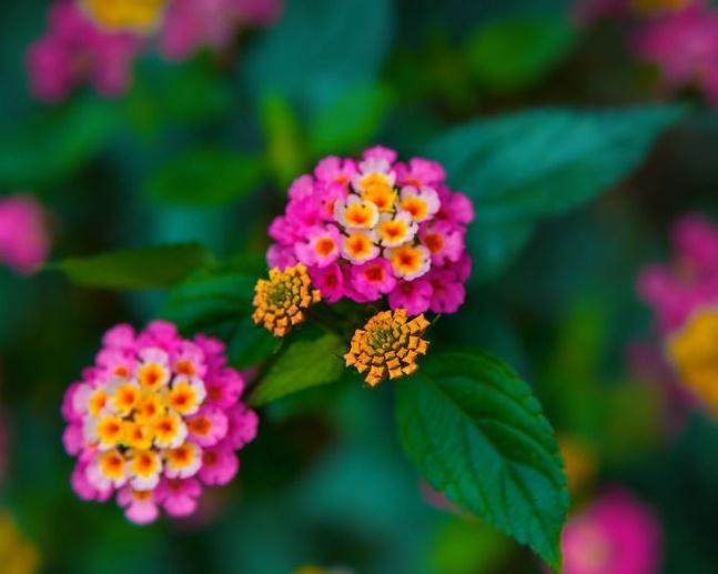Вербена - яркое красочное растение