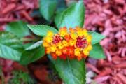 Фото 4 Вербена (51 фото): неприхотливая красота для вашего сада