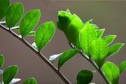 Фото 6 Замиокулькас (33 фото): посадка, выращивание, уход в домашних условиях