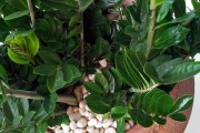 Фото 18 Замиокулькас (33 фото): посадка, выращивание, уход в домашних условиях
