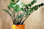Фото 7 Замиокулькас (33 фото): посадка, выращивание, уход в домашних условиях