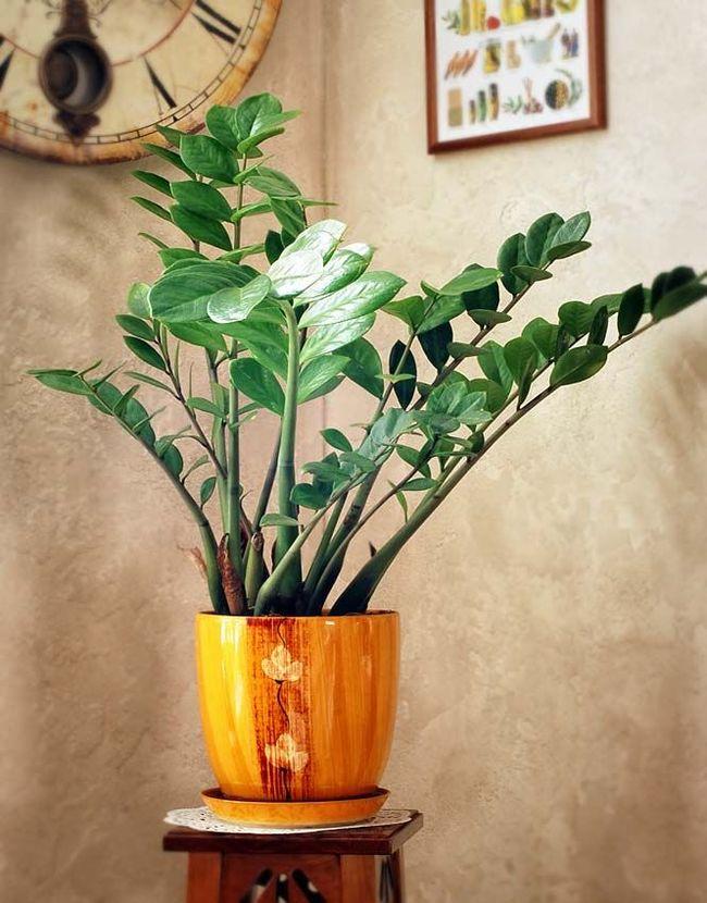 Замиокулькас - очень красивое и элегантное растение