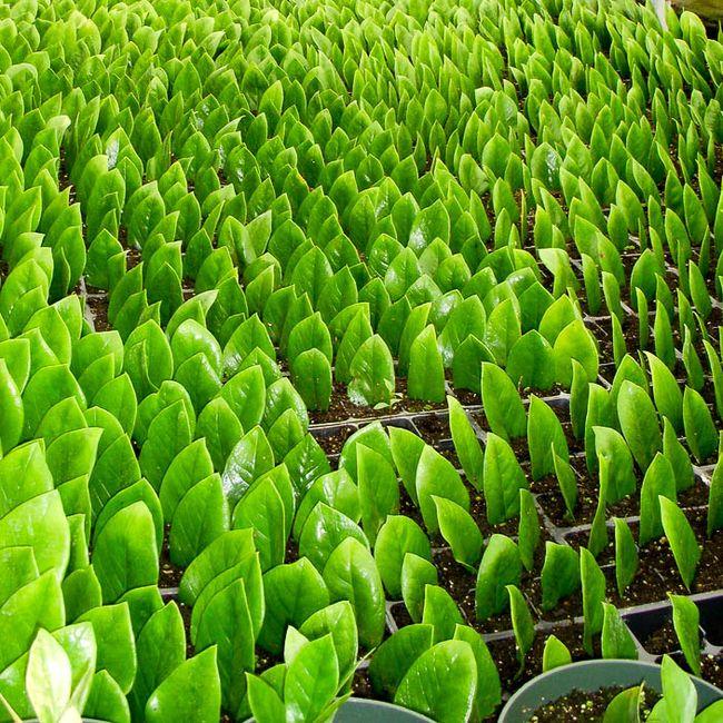 Фантастически красивая поляна саженцев замиокулькаса