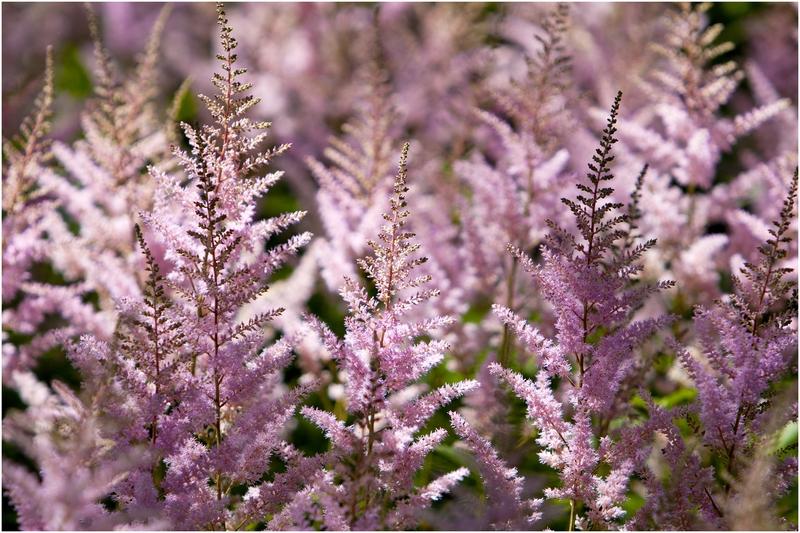 Астильба продолжает украшать сад и после того, как отцветает - с приближением холодов ее соцветия теряют окраску, но не опадают