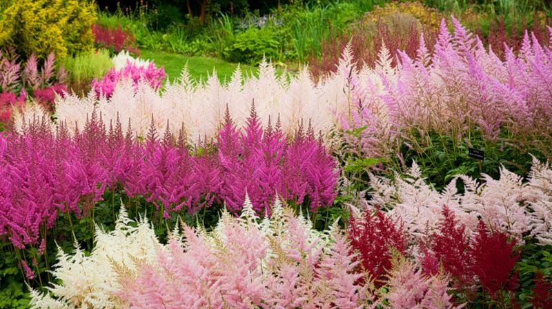 Цветовое разнообразие астильбы позволят создать невероятно яркий и красивый ландшафтный дизайн