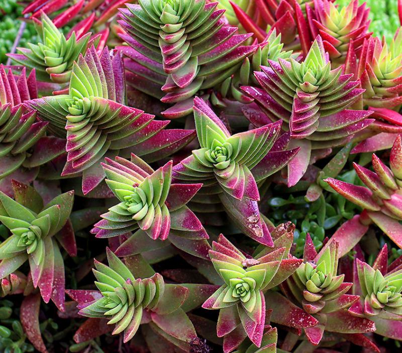 Необычное растение толстянка Campfire. Чем чаще и больше она получает прямой солнечный свет, тем ярче окраска листьев