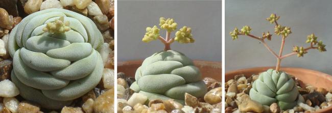 Необычная крассула alstonii сама по себе составляет весь бонсаи: и камень, и растение
