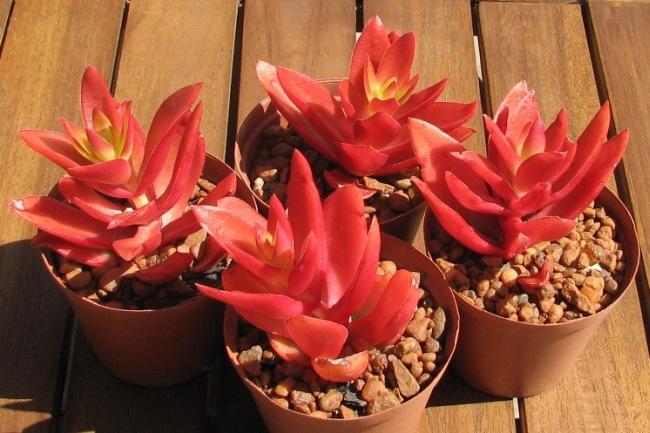 Толстянка Campfire - необычное растение, за которым очень легко ухаживать